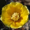 4-15-11 - Prickly Pear